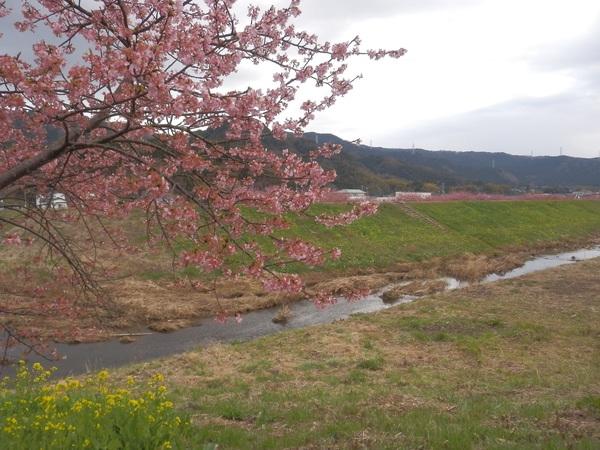 2月24日のかんなの桜 見ごろを迎えました