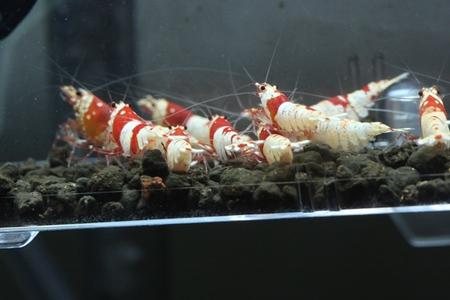 3匹抱卵している【千年蝦】産レッドビーシュリンプ